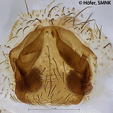 Ctenus minor, female epigyne, dissected, ventral view