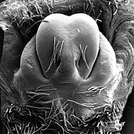 female epigyne, scale bar 0.1 mm