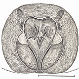 female epigyne (drawing by A.D. Brescovit)